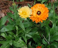 2008 Herb of the Year - Calendula