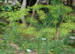 2010 Herb of the Year - Dill