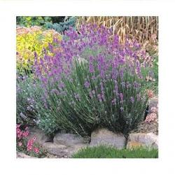1999 Herb of the Year - Lavender